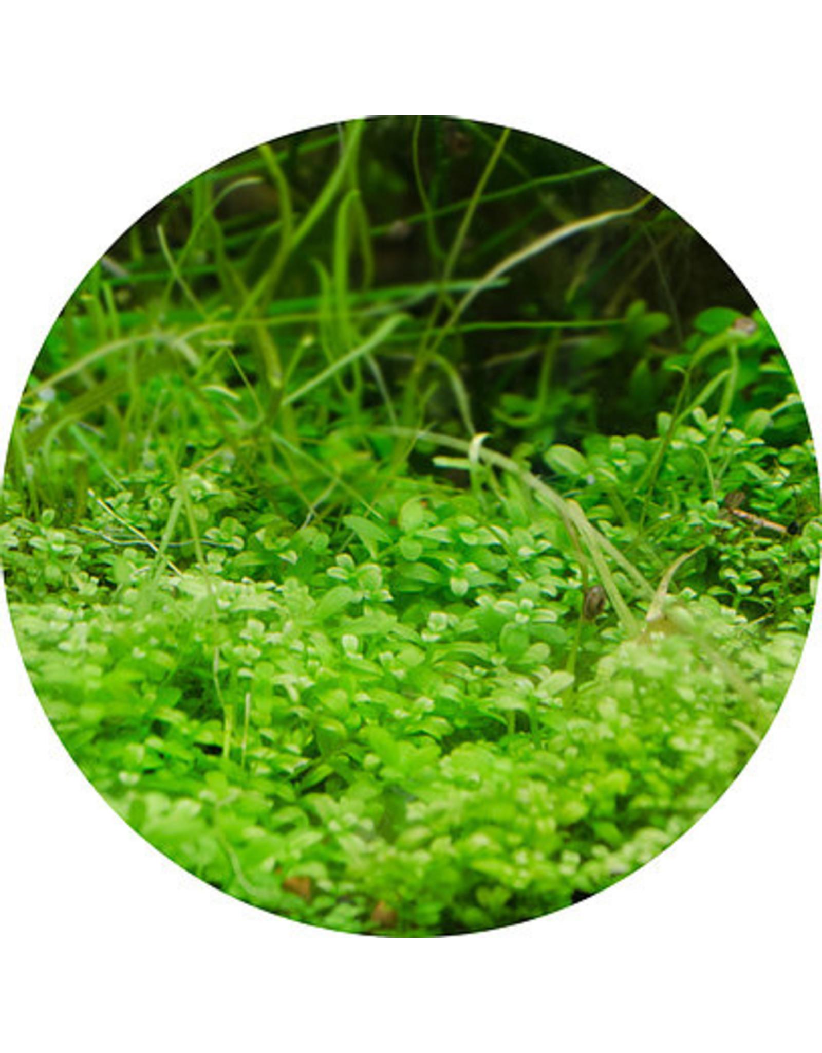 ABC Plants ABC PLANTS - Micranthemum 'Monte Carlo'