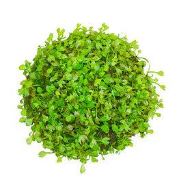 ABC Plants ABC PLANTS - Marsilea crenata