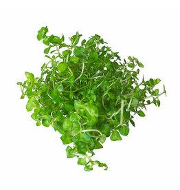 ABC Plants ABC PLANTS - Lysimachia nummularia (Creeping Jenny)