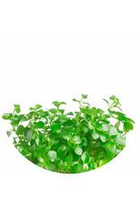 ABC Plants ABC PLANTS - Ludwigia repens