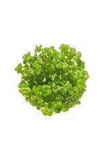 ABC Plants ABC PLANTS - Lindernia rotundifolia