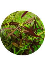 ABC Plants ABC PLANTS - Limnophila hippuidoides