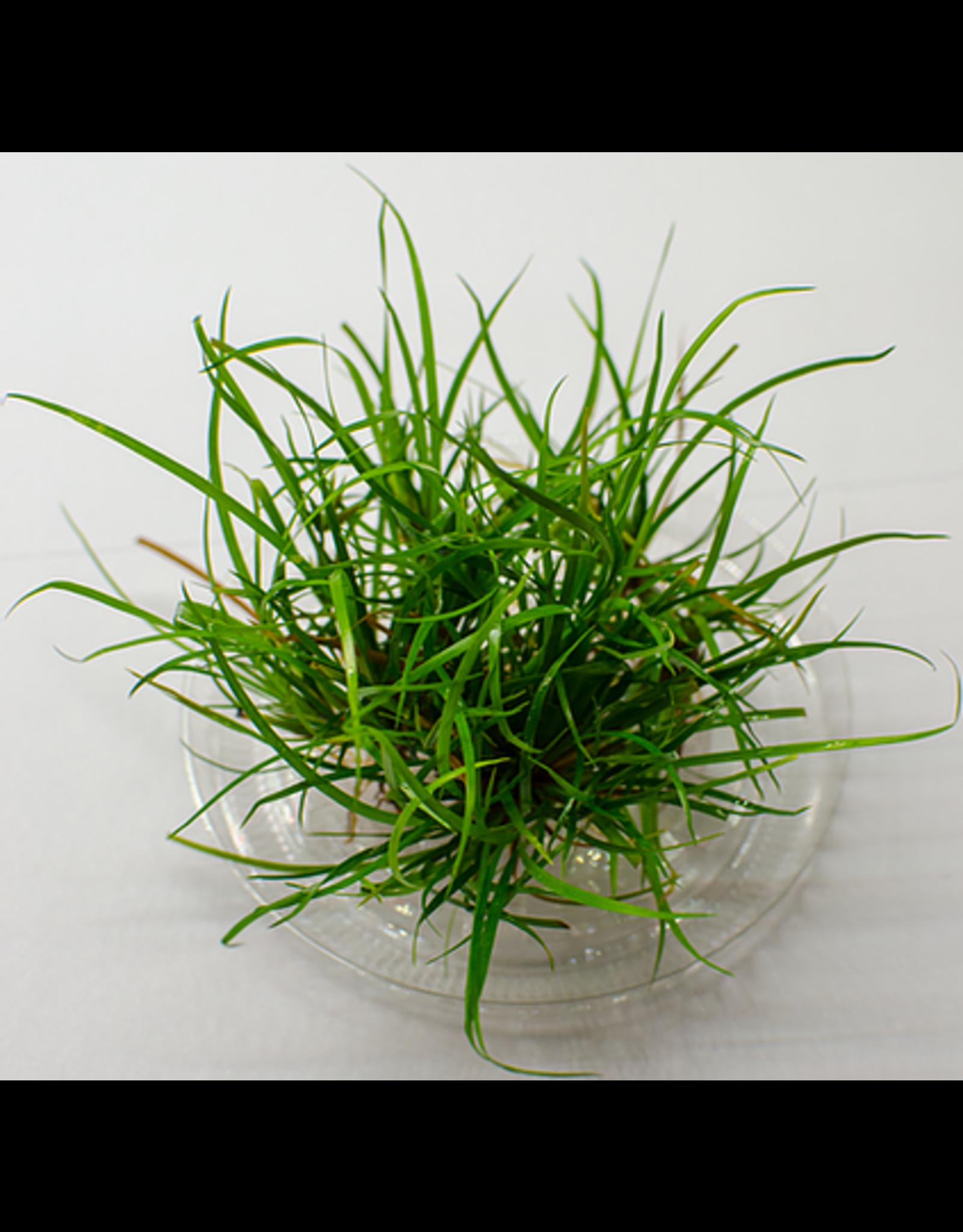 ABC Plants ABC PLANTS - Juncus repens