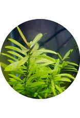 ABC Plants ABC PLANTS - Hygrophila polysperma 'tiger'