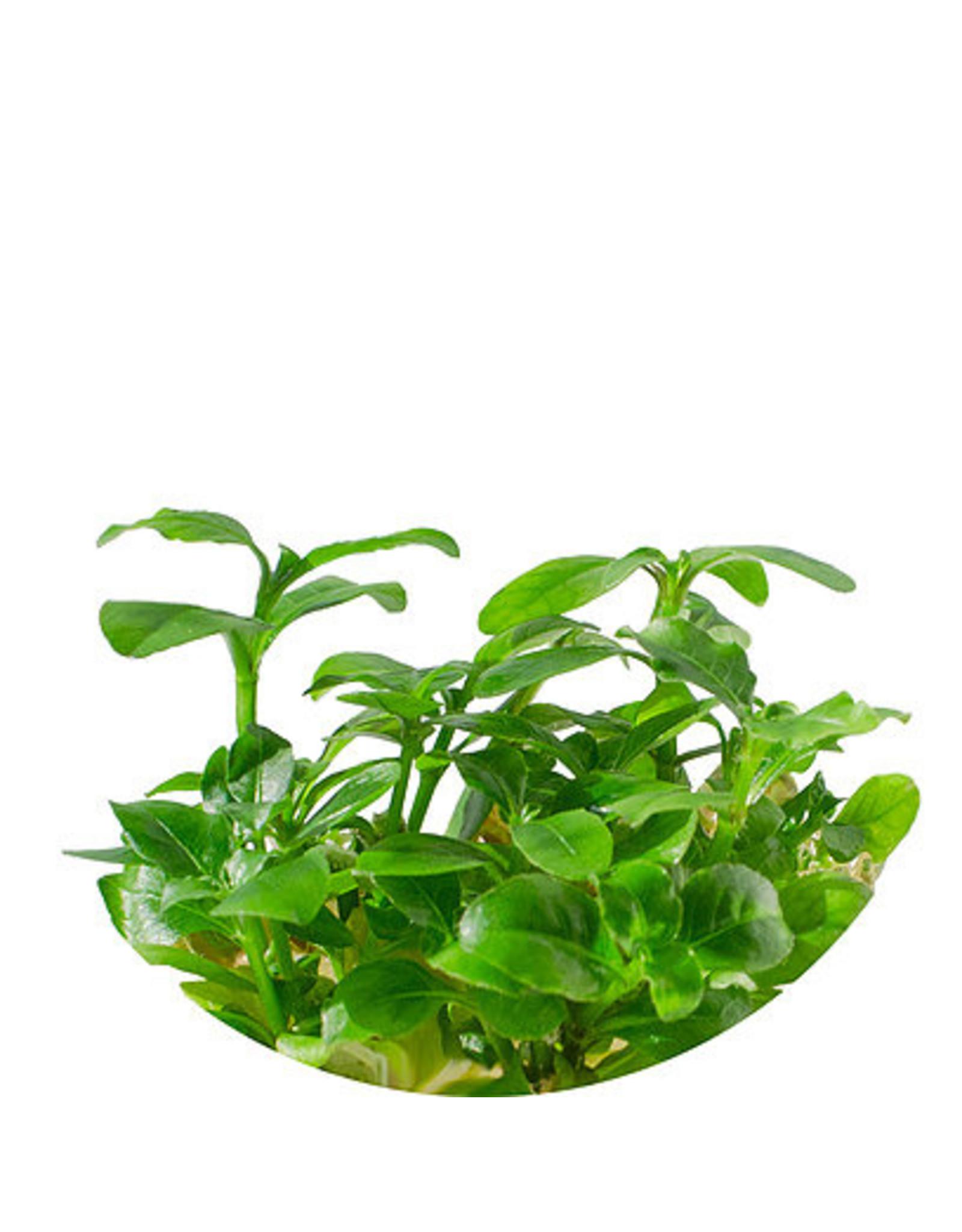 ABC Plants ABC PLANTS - Hygrophila polysperma 'rouge'
