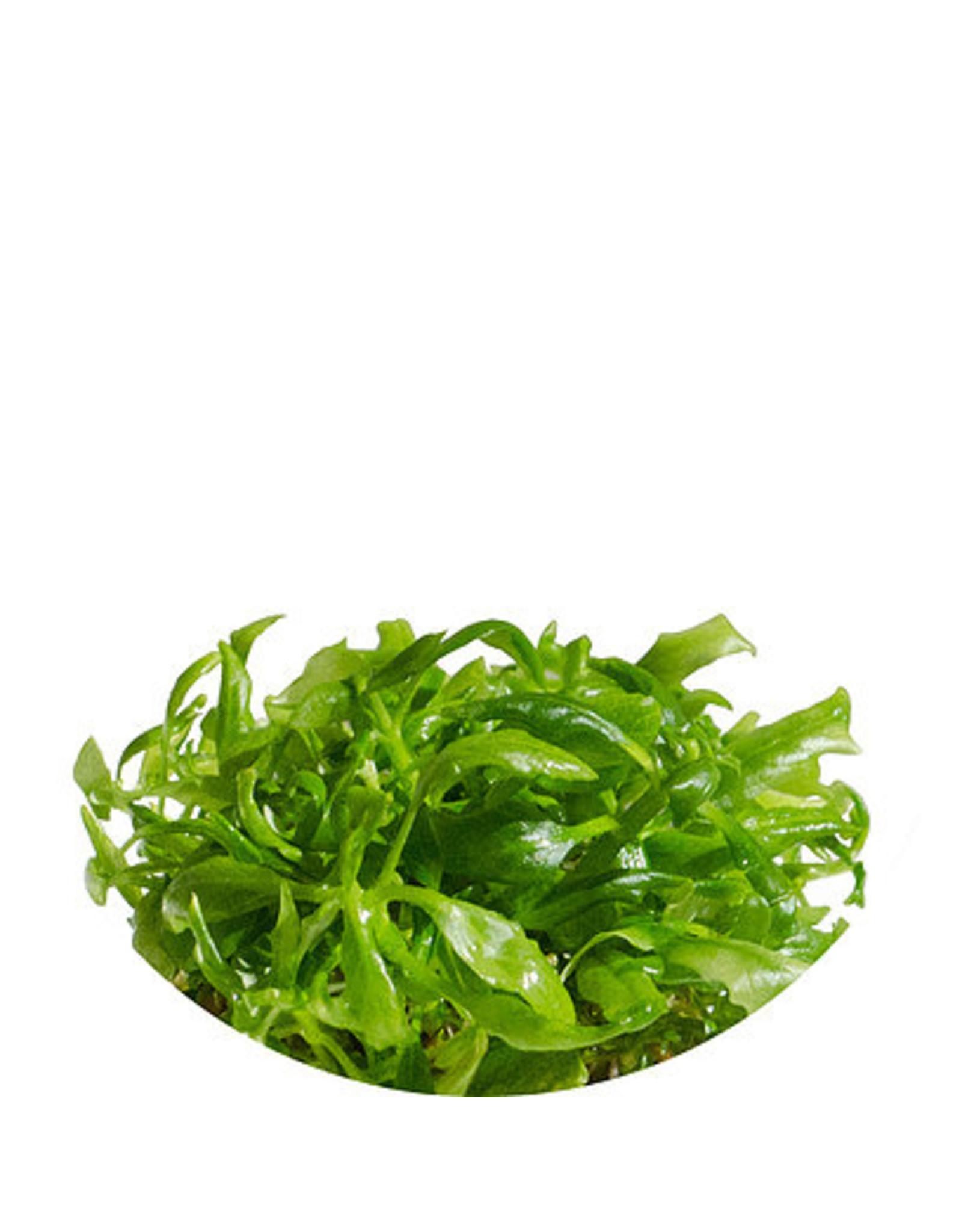 ABC Plants ABC PLANTS - Hygrophila difformis - Water Wisteria