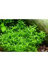 ABC Plants ABC PLANTS - Hemianthus micranthemoides