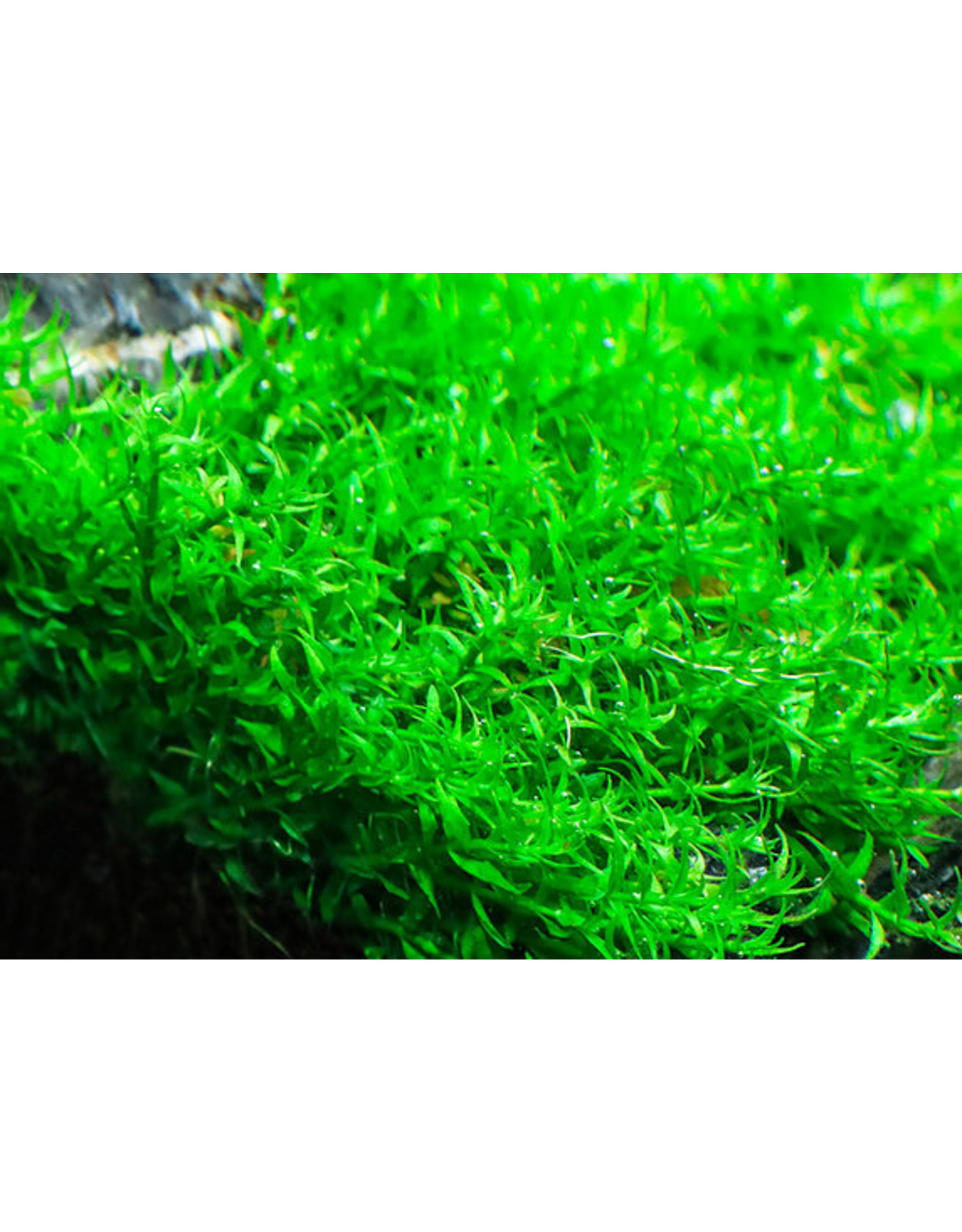 ABC Plants ABC PLANTS - Gratiola viscidula