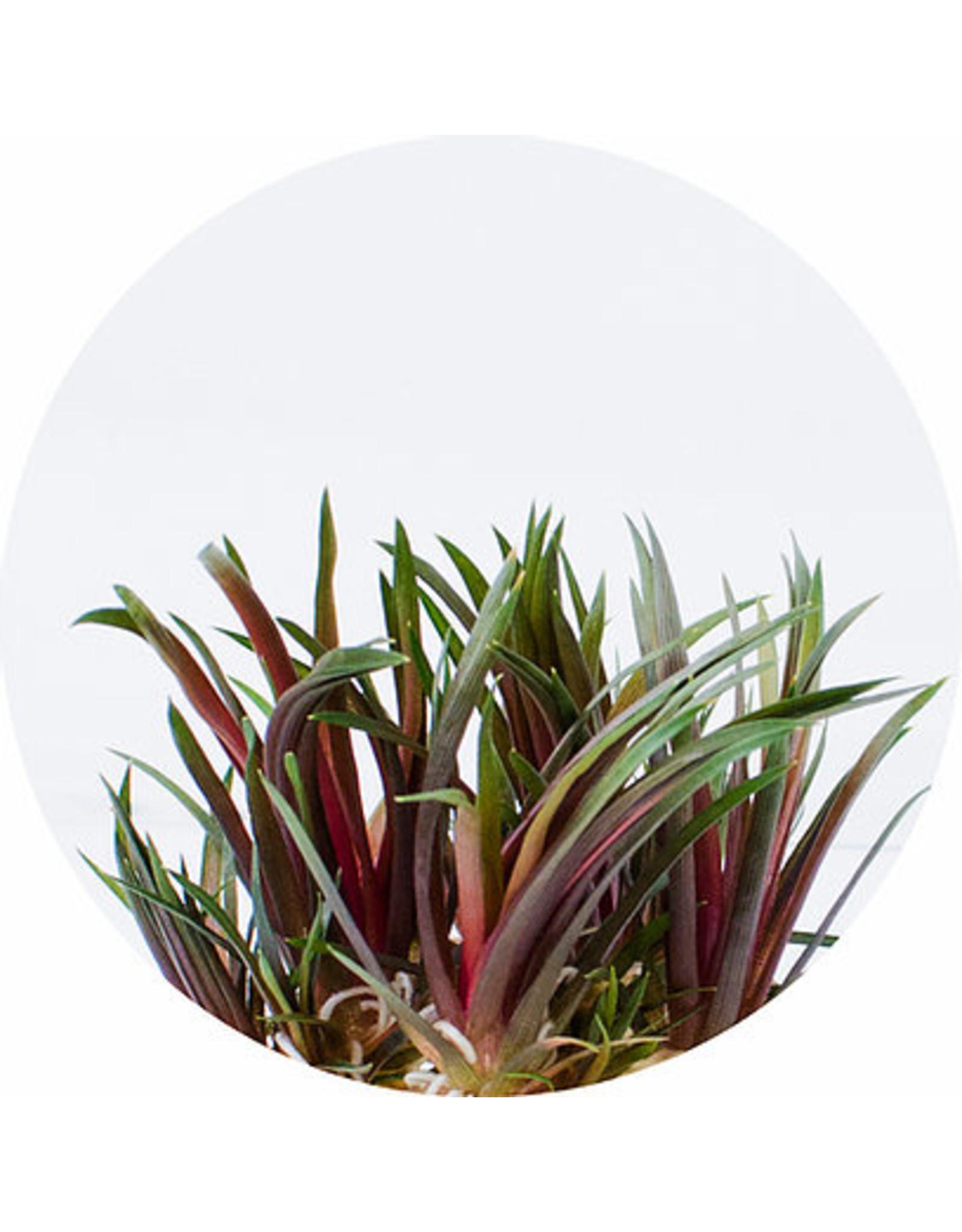 ABC Plants ABC PLANTS - Eriocaulon - King Crimson