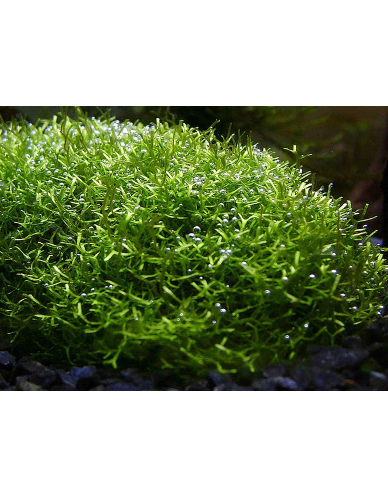 ABC Plants ABC PLANTS - Riccia fluitans