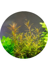 ABC Plants ABC PLANTS - Proserpinaca palustris 'Marsh Mermaid'