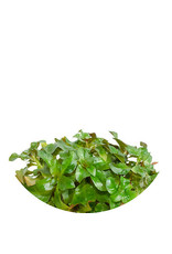 ABC Plants ABC PLANTS - Ludwigia peruensis 'Red Star'