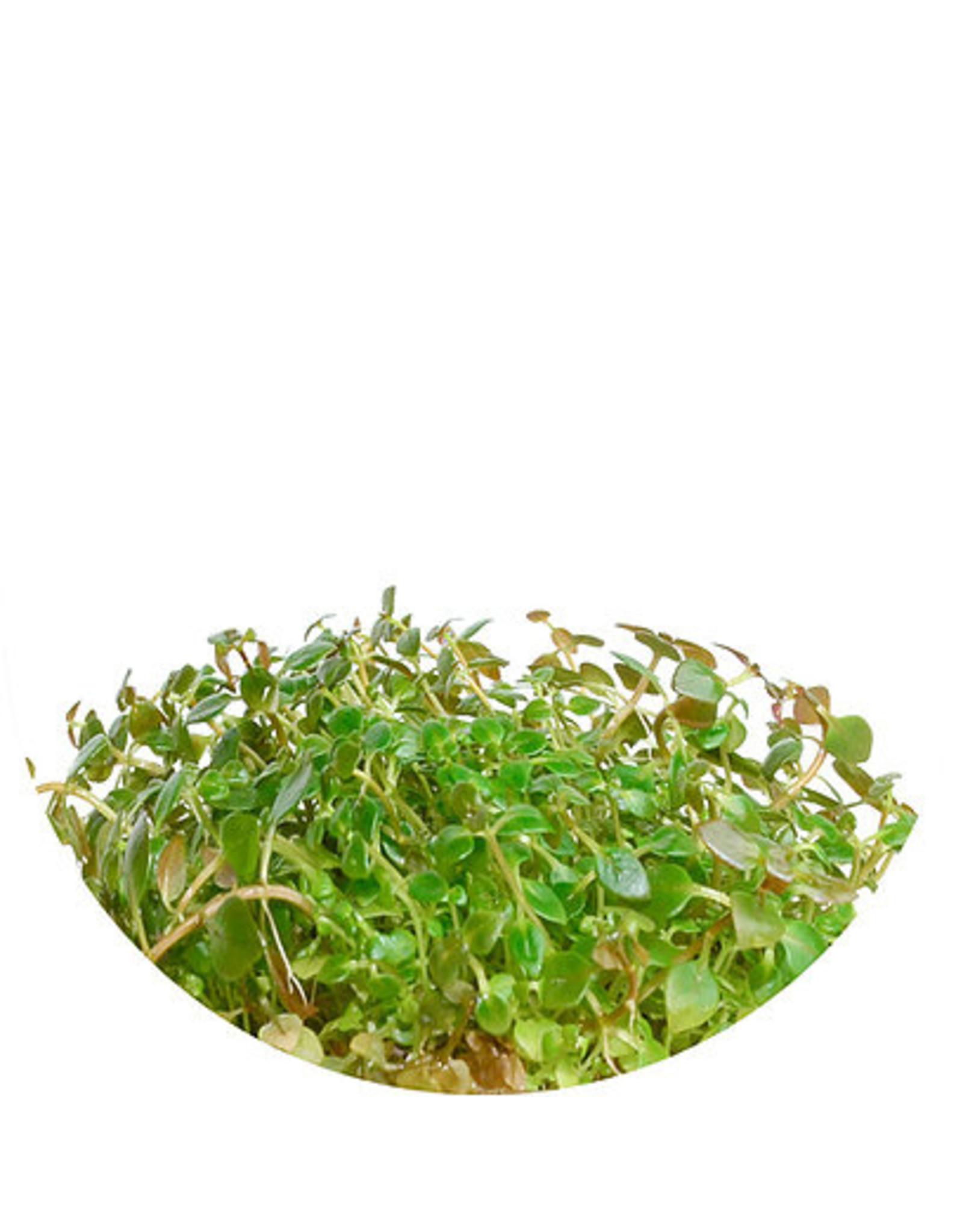 ABC Plants ABC PLANTS - Ludwigia palustris 'Super Red'