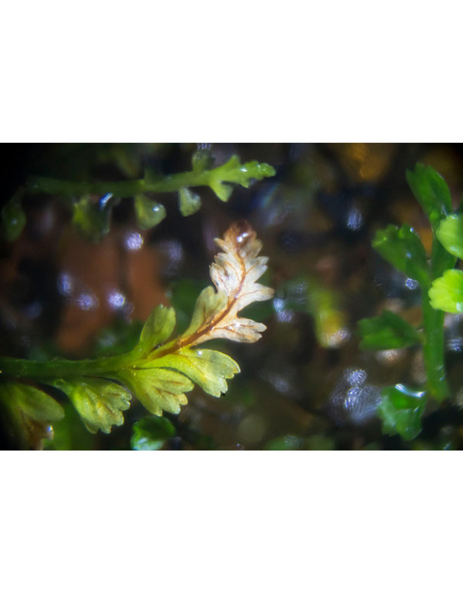 ABC Plants ABC PLANTS - Kalimantan fern NEW SPECIES!!