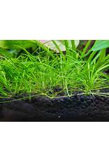 ABC Plants ABC PLANTS - Helanthium tenellum