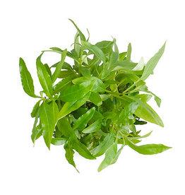 ABC Plants ABC PLANTS - Hygrophila corymbosa 'angustifolia'