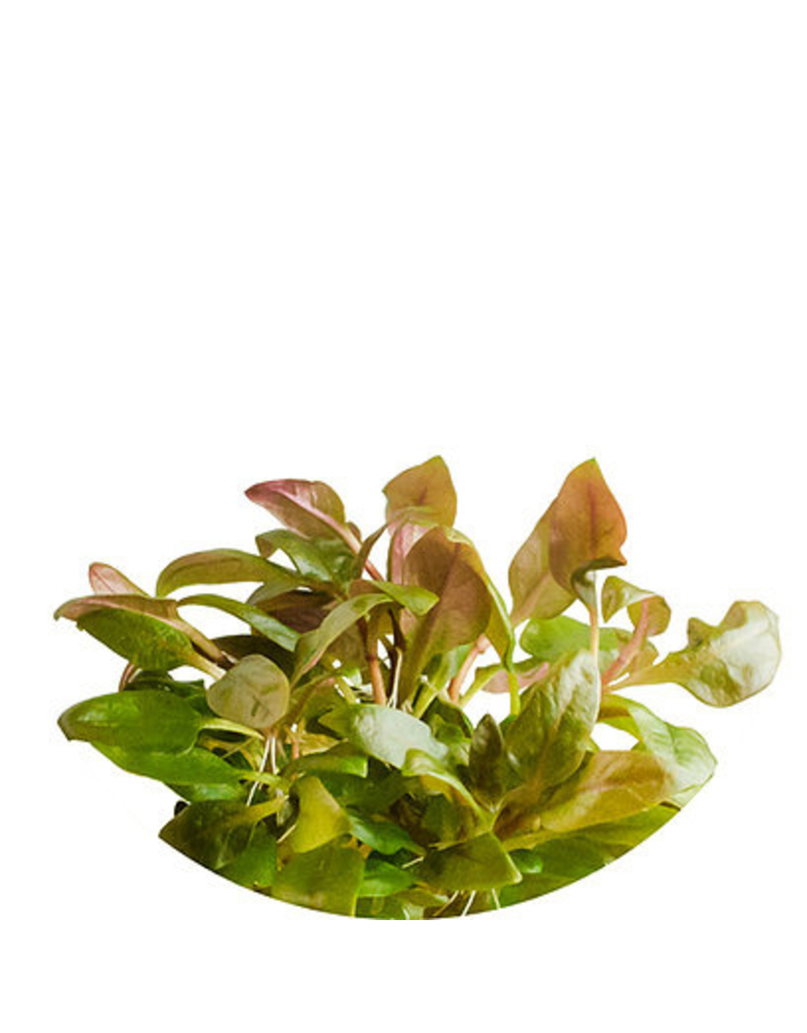 ABC Plants ABC PLANTS - Althernanthera reineckii var. Lilacina