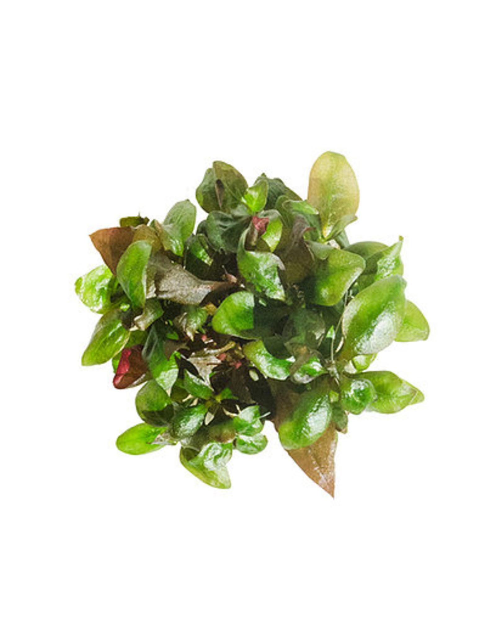 ABC Plants ABC PLANTS - Althernanthera reineckii var. Ocipus