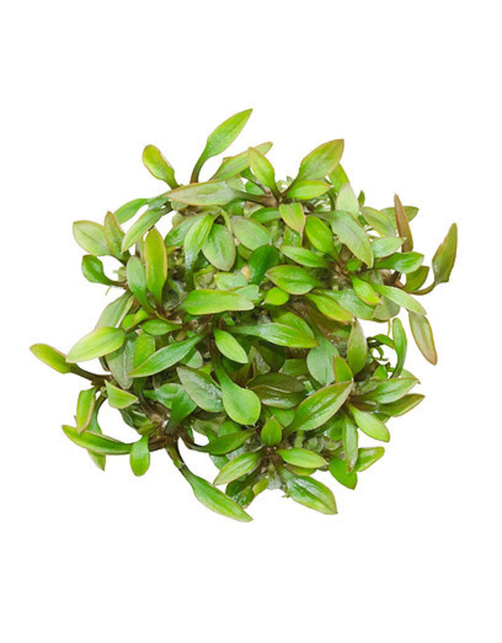 ABC Plants ABC PLANTS - Cryptocoryne lutea