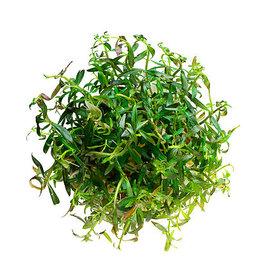 ABC Plants ABC PLANTS - Ludwigia arcuata