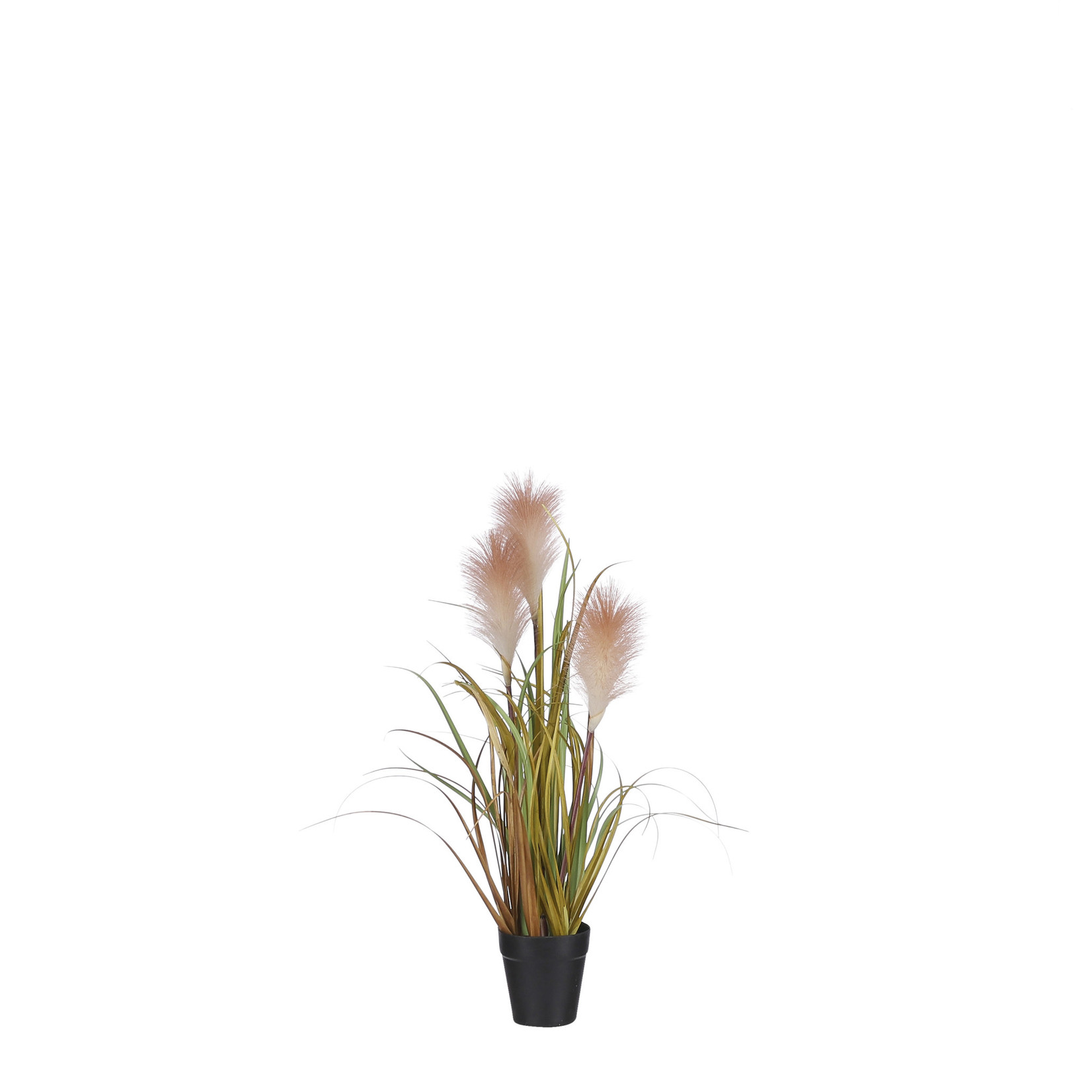 Brown Plume Grass in Pot