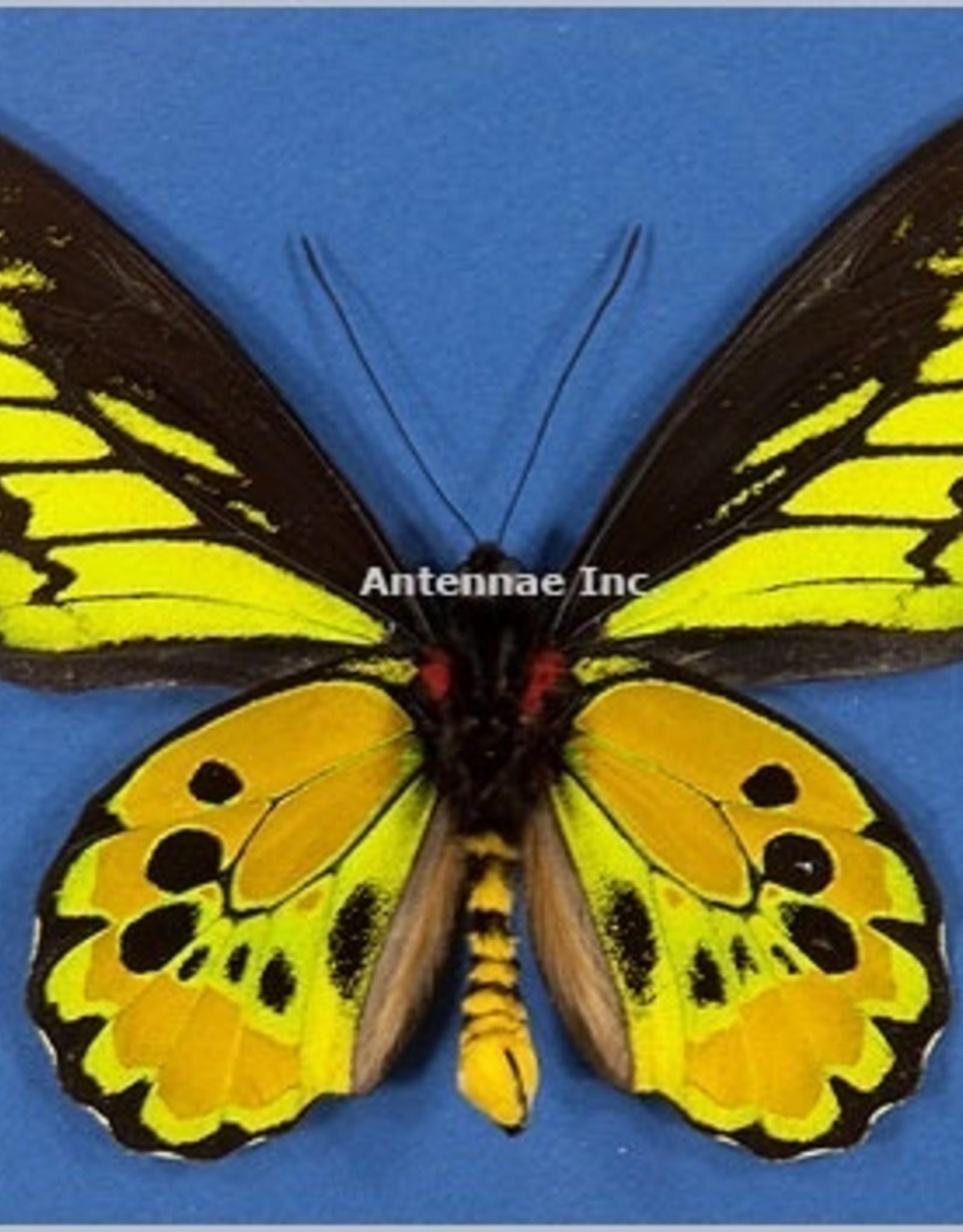 Ornithoptera rothschildi PAIR A1 Arfak, Irian Jaya, Indonesia