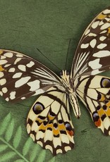 Papilio demoleus ssp.? M A1 Sri Lanka a.o.