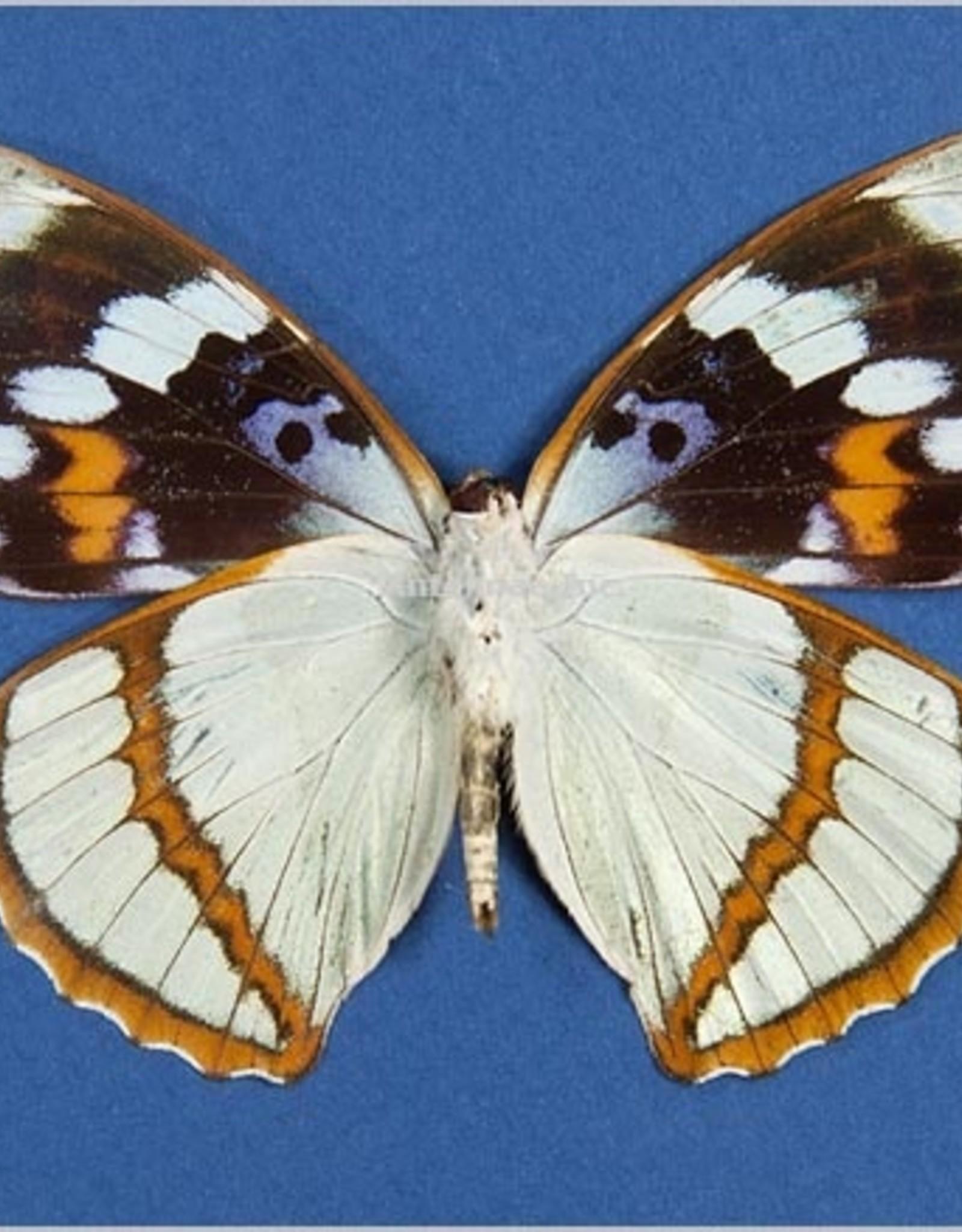 Mimathyma schrenckii ssp? M A1 China