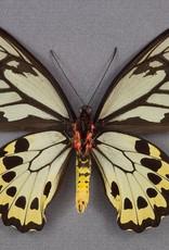 Ornithoptera croesus lydius F A1 Halmahera Island, Indonesia