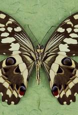 Papilio demodocus M A1 CAR