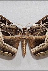 Dactylocerus lucina M A1/A1- Cameroon
