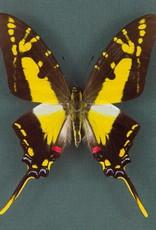 Eurytides thyastes thyastinus M A1 Peru