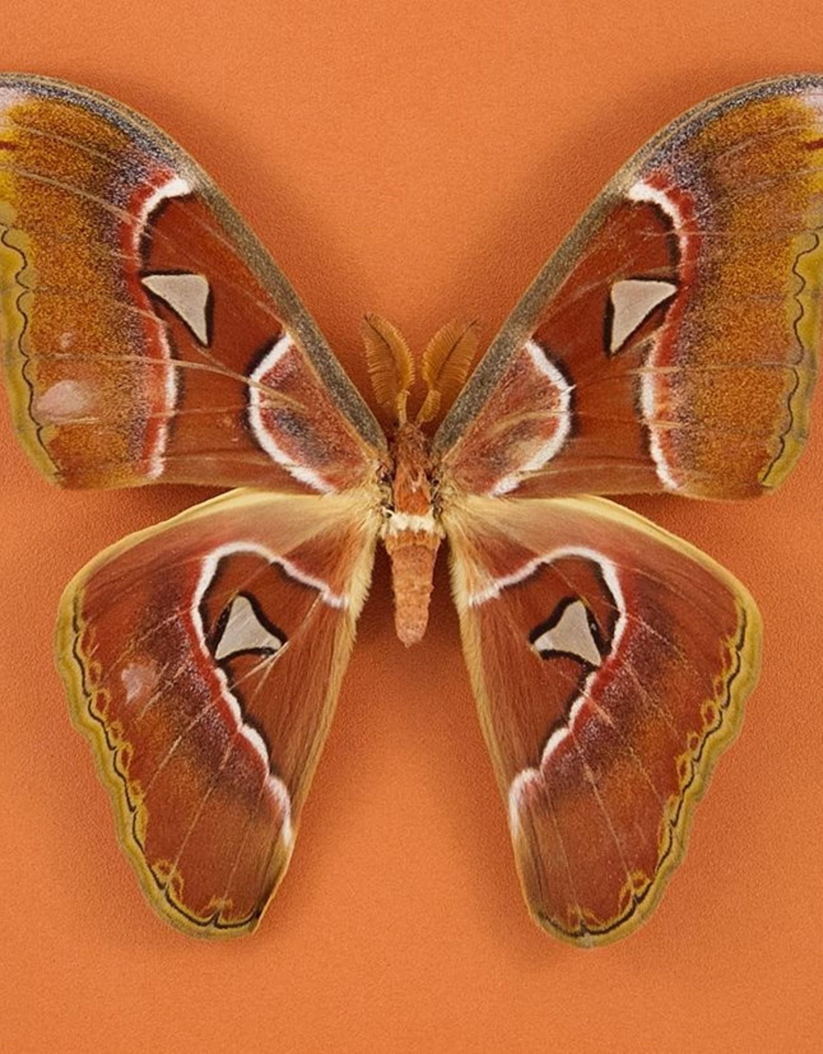 Attacus lorquini M A1 Philippines