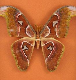 Attacus lorquini M A1 Phillipines