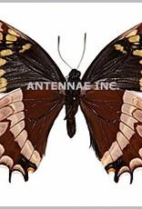 Papilio warscewiczii mercedes M A1 Peru