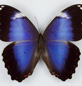 Morpho achillieana violacea M A1 Brazil