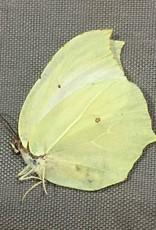 Gonepteryx mahaguru aspasia M A1 South Korea