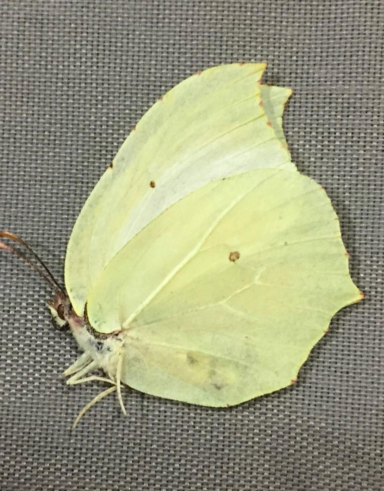 Gonopteryx mahaguru aspasia M A1 South Korea