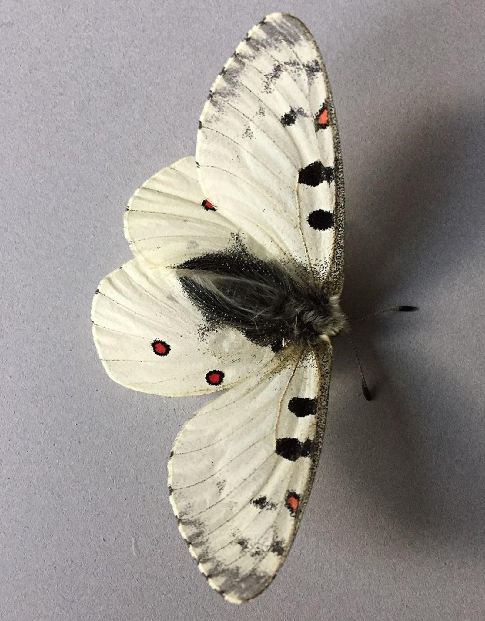 Parnassius smintheus smintheus M A1 AB, Canada