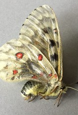 Parnassius phoebus smintheus F A1 Canada