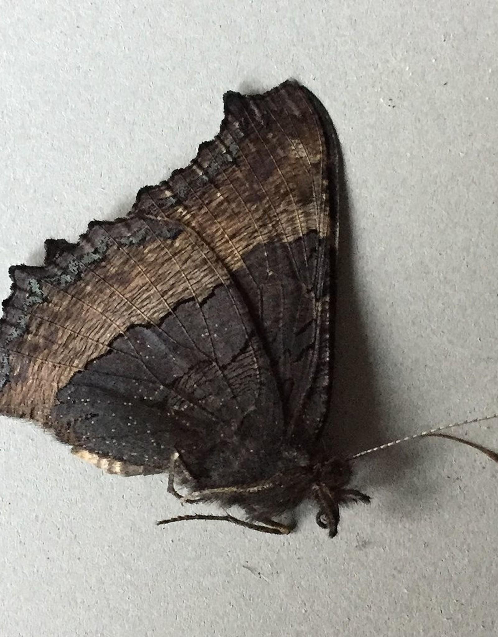 Roddia (Nymphalis) milberti furcillata M A1 Canada