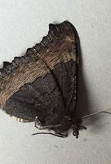 Roddia (Nymphalis) milberti furcillata PAIR A1- Canada