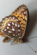 Speyeria hesperis beani M A1 Alberta, Canada