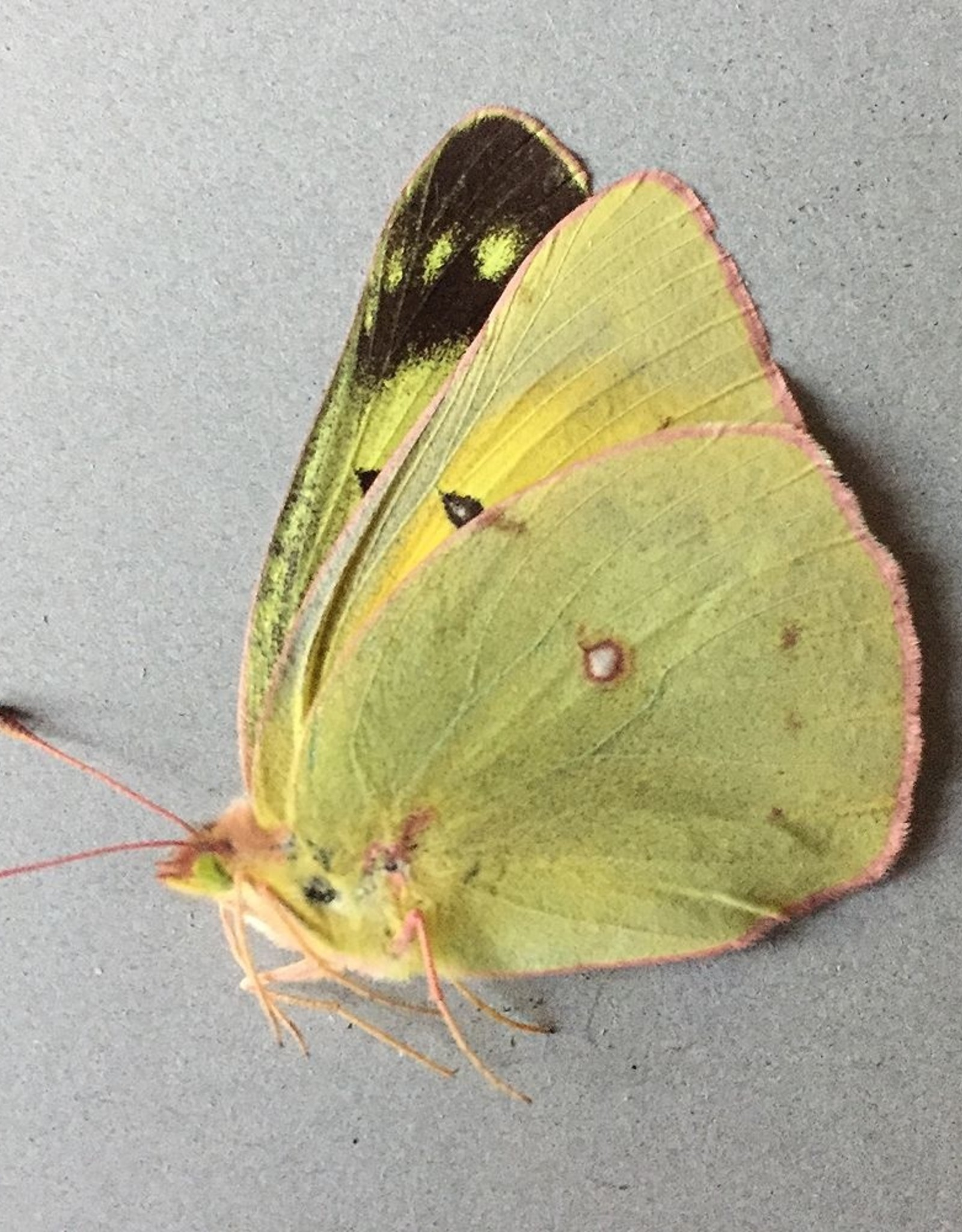 Colias philodice eriphyle F A1- Canada