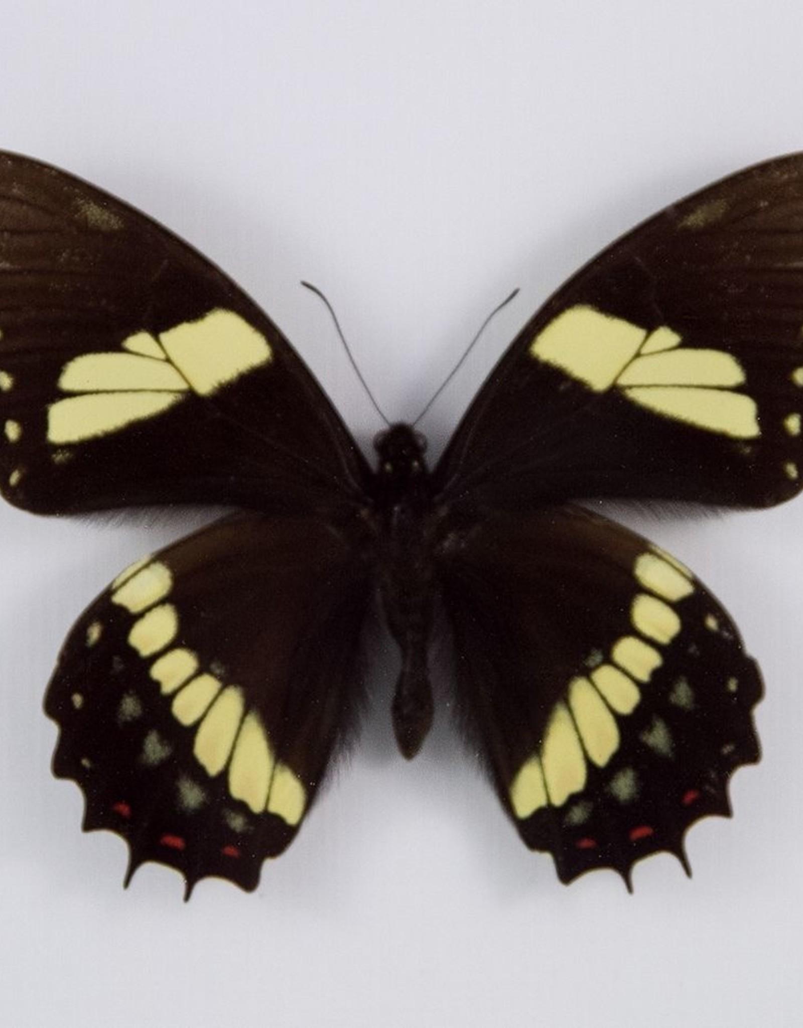 Papilio aristeus coelebs M A1 Peru