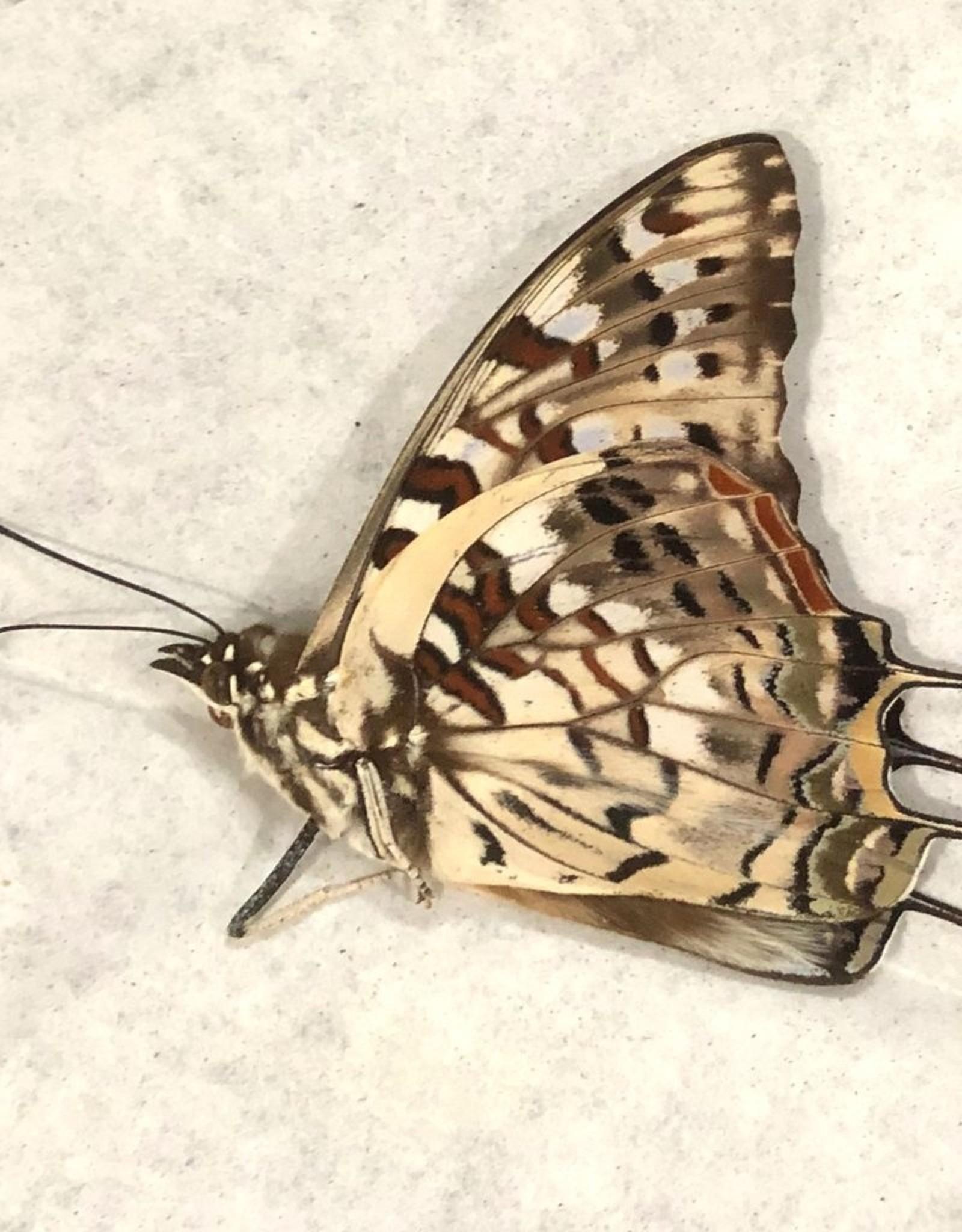 Charaxes cacuthis M A1 Madagascar