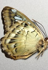 Parthenos sylvia brunnea M A1 Indonesia
