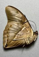 Prepona (Archeprepona) meander megabates/ Prepona (Archeprepona) amphimachus MIX M A1 Peru