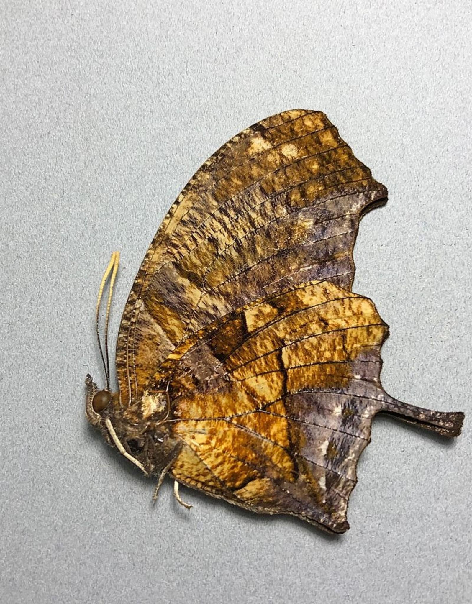 Consul (Anaea) fabius cecrops M A1 Peru