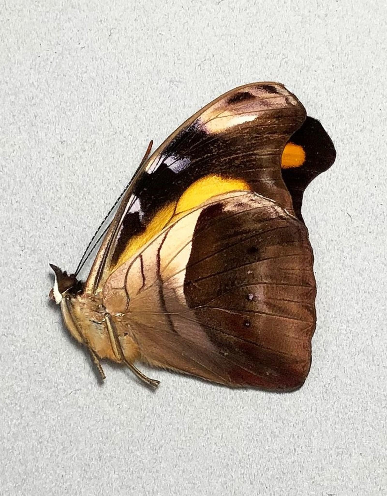 Catonephele chromis godmani M A1 Bolivia